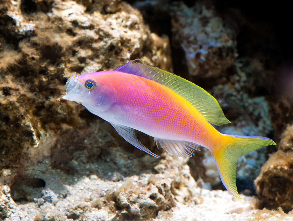anthias-1-1024.jpg