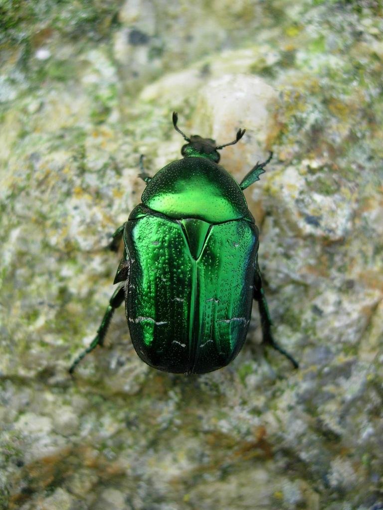 использует краски зеленый майский жук фото насытят вашего мужчину